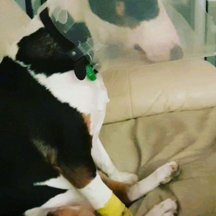 Ruby my Bully not knowing what the hell is going on after surgery today